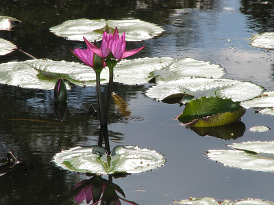 WATERLILLY LP PINK _04