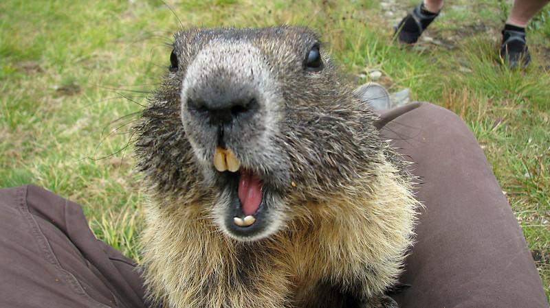 Marmot  -  Marmotte