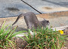 DOWNWARD DOG  (CAT)