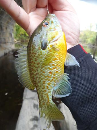 Hybrid Fishes