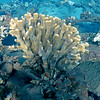 Rare staghorn coral at Mala Wharf!