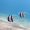 A PAIR OF JUVENILE PENNANT BUTTERFLY FISH