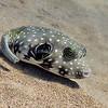 STRIPEBELLY PUFFER FISH