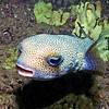 Porkupine pufferfish