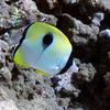 TEARDROP BUTTERFLY FISH