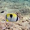 Tear drop butterfly fish