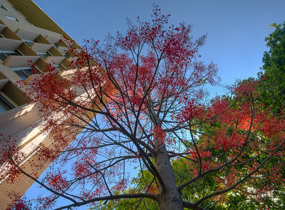 Flame Tree at Unimelb on a perfect summer day