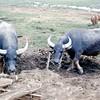 Land Where Water Buffalos Roam 1966