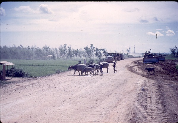 Farmers crossed their water buffalo when and where there they  wanted