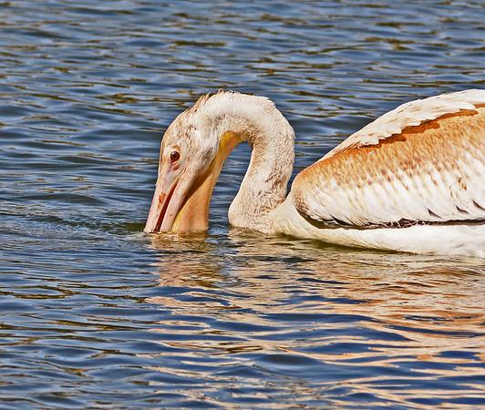 McNary, Charbonneau Park Scenes, Hat Rock@Ice Harbor Pelicans, 9-12-16