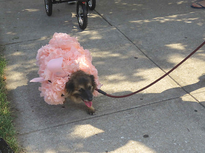 a dog dressed up as Fifi the poodle from AVAM's sculpture race