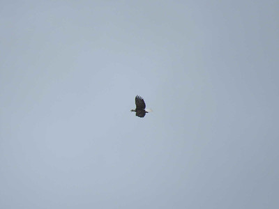 adult Bald Eagle flying over the Annapolis waterfront