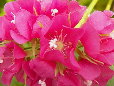 tropical hydrangea