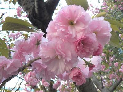 Washington DC cherry blossoms 2012