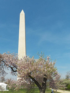 the Washington Monument and cherry trees