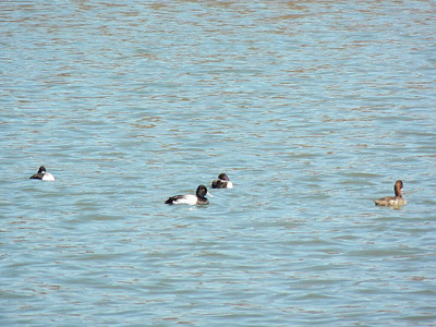 scaup on the Tidal Basin