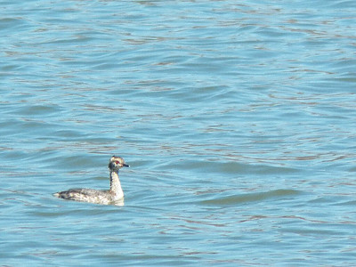 Horned Grebe on the Tidal Basin