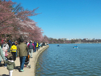 many people looking at the cherry blossoms along the Tidal Basin