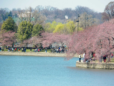 Washington DC cherry blossoms, 2013