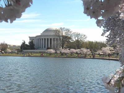 Cherry trees and the Jefferson Memorial