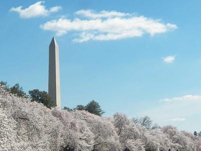 cherry trees and the Washington Monument
