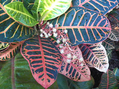 flowering croton, Howard Peters Rawlings Conservatory