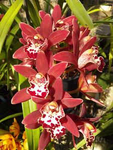 Cymbidium orchid, Howard Peters Rawlings Conservatory