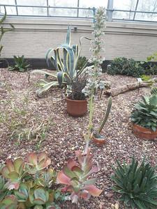 Flapjack Paddle Plant (Kalanchoe luciae)