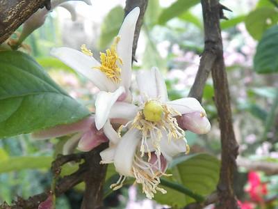 Etrog Citron flowers