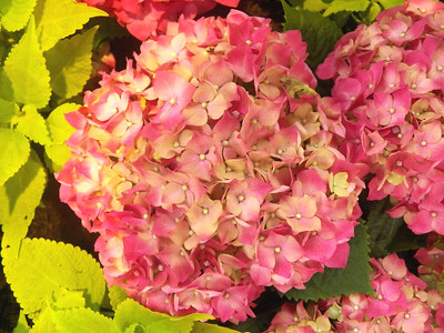 spring flowers - hydrangea
