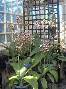 Nun Orchids