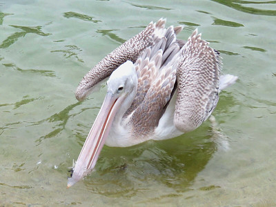 Pink-backed Pelican playing with a feather
