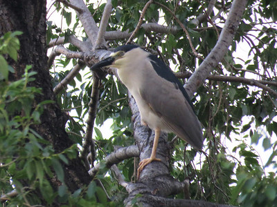 an adult Black-crowned Night-heron roosting in a tree near where we were sitting