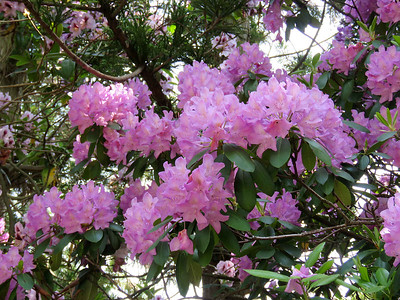 a rhododendron in the Victorian Garden