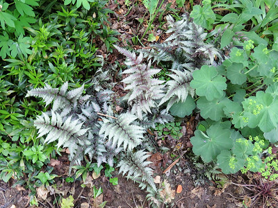 Japanese Painted Ferns in the Woodland Garden