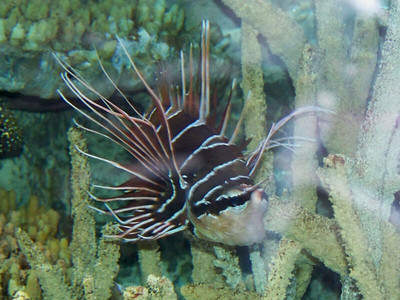 Whitefin Lionfish