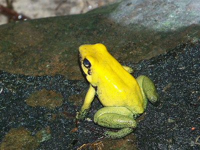 Terrible Poison Dart Frog