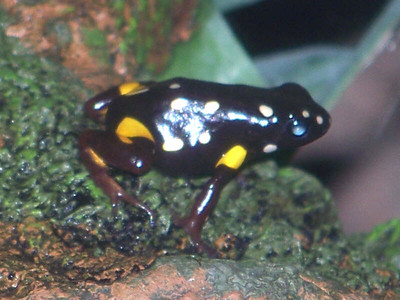 Brazil Nut Poison Dart Frog