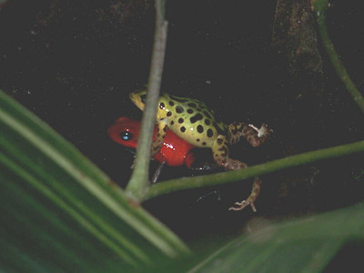mating Strawberry Poison Dart Frog