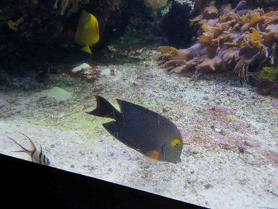 ? Pacific reef fish (with Banggai Cardinalfish and Yellow Tang)