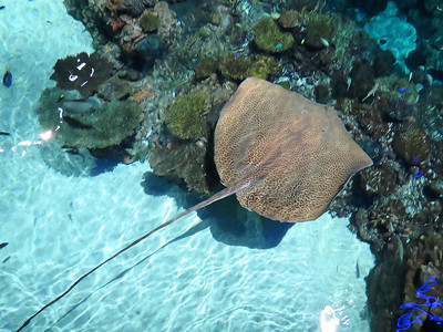 Reticulated Whiptail Ray