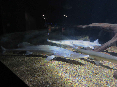 two Shovelnose Sturgeon (and a gar)