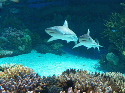 Black-tip Reef Sharks