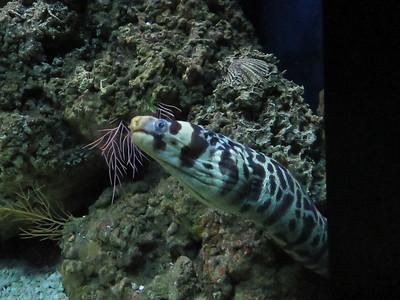 Barred Moray Eel
