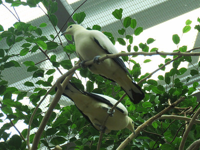 Pied Imperial Pigeons