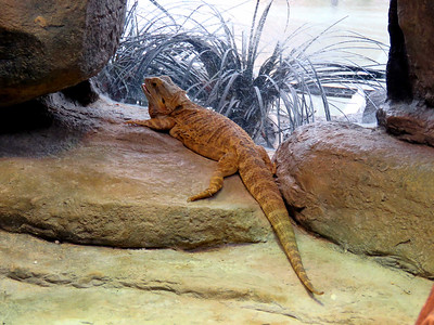 Central Bearded Dragon