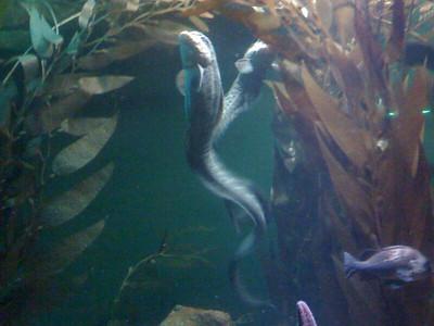 Wolf Eels