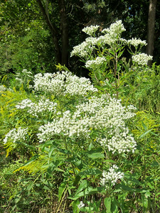 Eupatorium of some sort (I think)