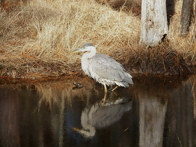 Great Blue Heron, Blackwater National Wildlife Refuge, 12/31/2014