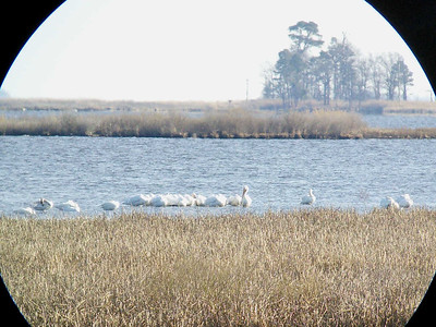 Mute Swans (on right) & White Pelicans (center), Blackwater National Wildlife Refuge, 12/31/2014